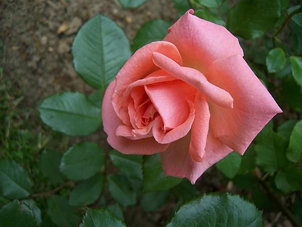 105-rose-kalinka-libre.jpg