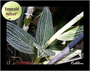 emerald-velvet.jpg