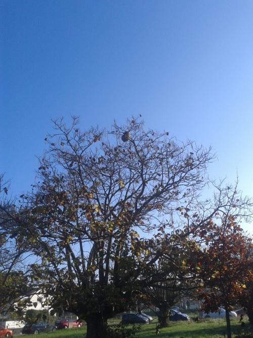 frelon asiatique nid du secteur pays royannais insolite