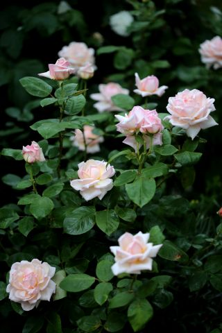 Les Roses de Warren : Champagne Elegance