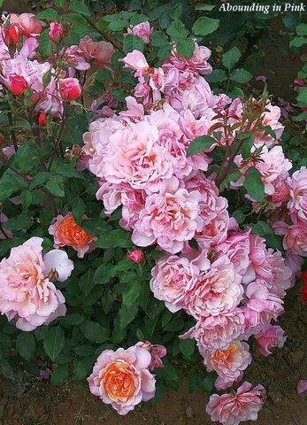 Les roses de Warren : Aboundance in Pink
