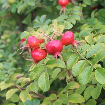 Rosa Rugosa ou Rosier Rugueux ou Rosier du Japon - Baies