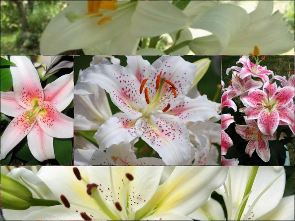 Mes fleurs préférées/le lys