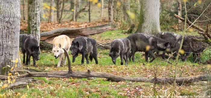 Pourquoi Les Loups Hurlent-Ils ?