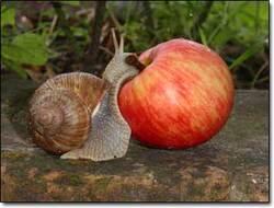 la pomme et l; escargo