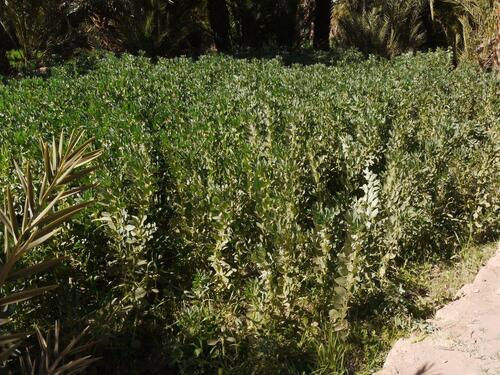 Un champs de fèves