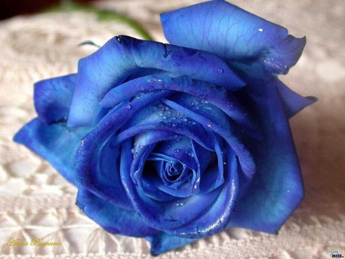 Belles Roses Bleues