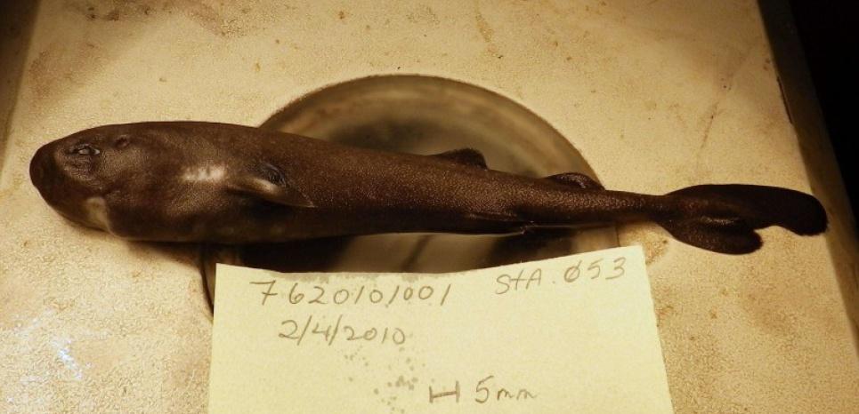Ce spécimen de Requin poche a été pêché en 2010 puis congelé, pour être analysé à partir d'octobre 2013. © Mark Grace/AP/SIPA