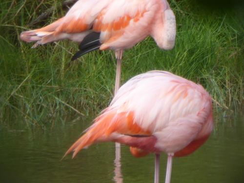 Les flamands rose de Puerto Villamil, Isabela