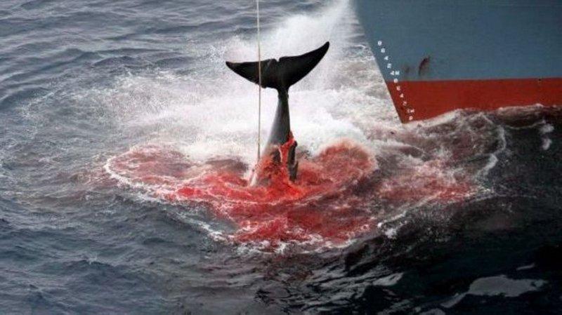 Le Japon continue la chasse à la baleine