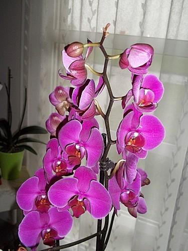 mes-orchidees-004.JPG