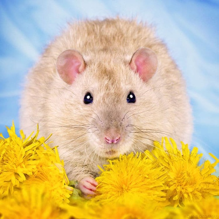 Le photographe passe des années à prendre d'adorables photos de rats pour briser la stigmatisation des rongeurs