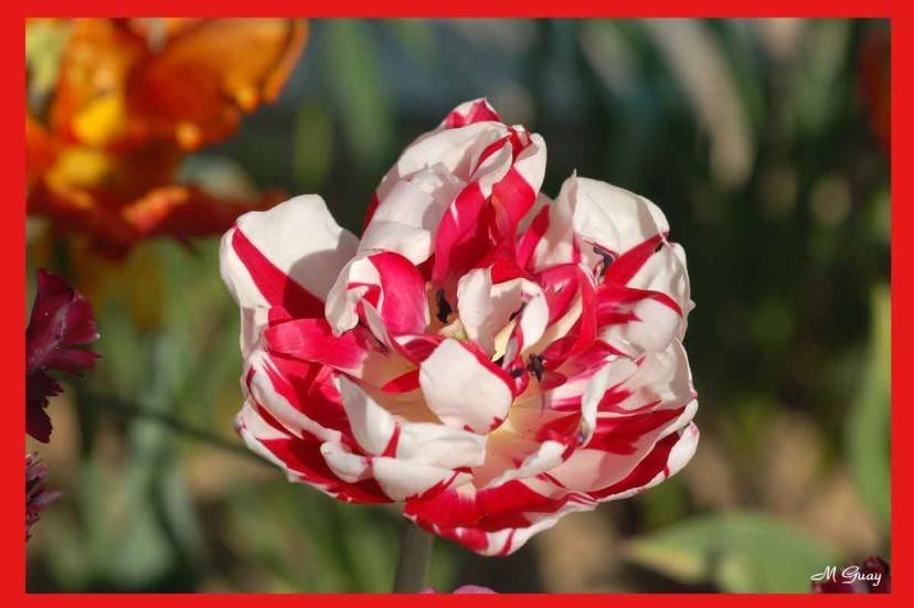 tulipe-1582.jpg