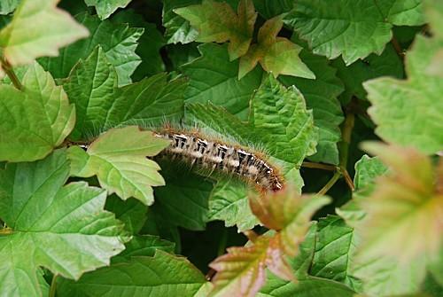 Chenille de Lasiocampa quercus