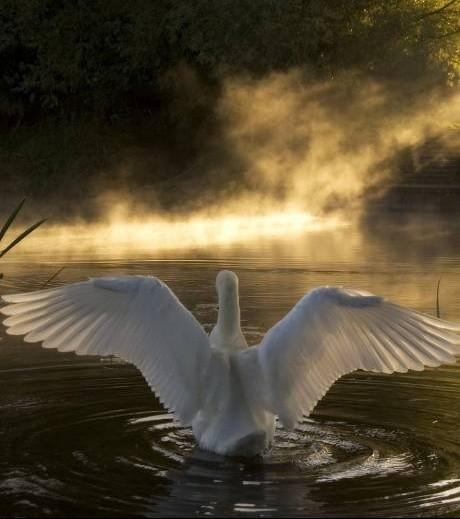 Les Cygnes Sauvages De Coole Juste De Passage Jcris Pour Mon