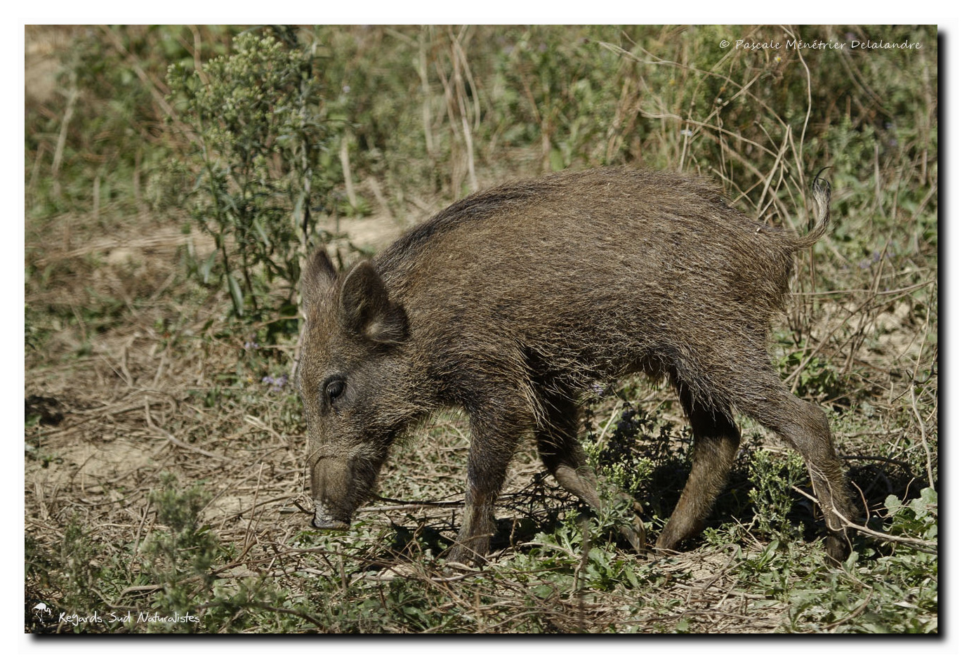 Sangliers ou cochons sauvages - Sus scrofa