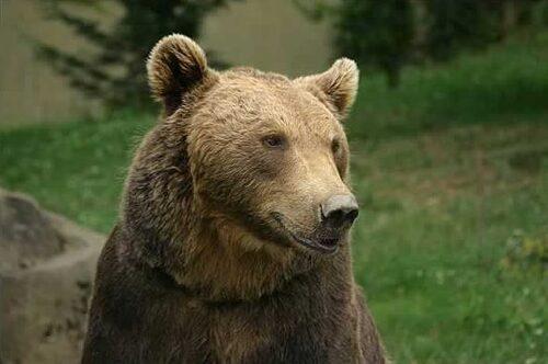 Pour sauver l'ours des pyrénées :