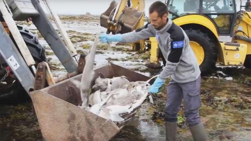 Côtes-d'Armor: au moins 450 requins retrouvés morts