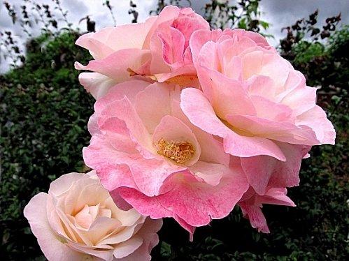 roses-france-1327048629-1072516