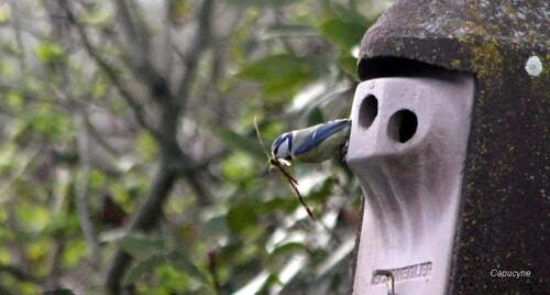 Les mésanges bleues bâtisseuses