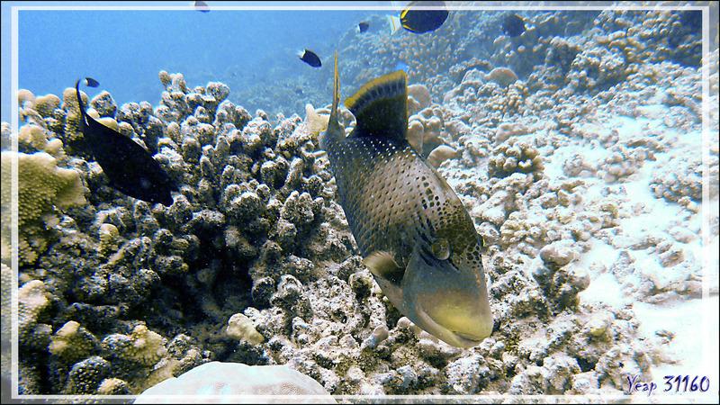 Baliste ponctué ou Baliste géant, Yellowmargin triggerfish (Pseudobalistes flavimarginatus) - Tumakohua (passe sud) - Atoll de Fakarava - Tuamotu - Polynésie française