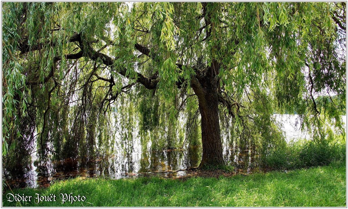 Saule Pleureur (1) - Salix babylonica