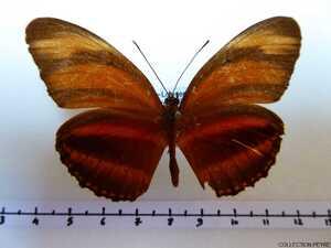 Dryadula phaedusa