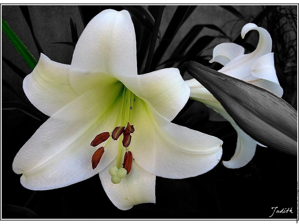 Fleur de lys