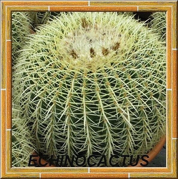 echinocactus grusonii6