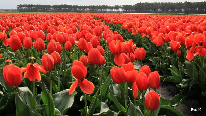 ....Et maintenant les tulipes....