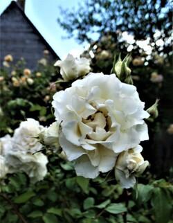 Les roses sont de retour! (6ème partie)