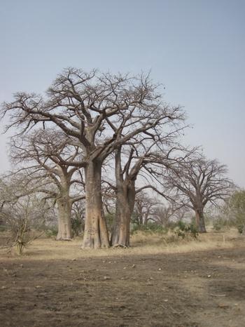 043 Baobabs avant Kayes