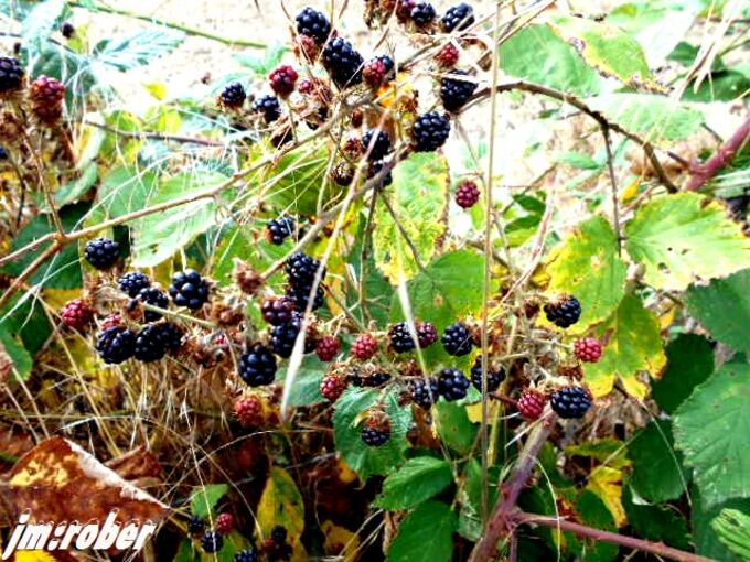 La mure sauvage , un fruit délicieux connu depuis l'Antiquité