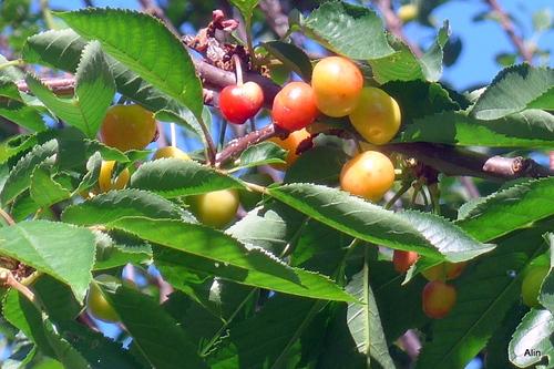 Des cerises sur l'arbre !
