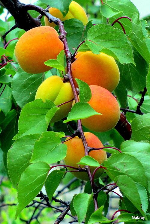 Les abricots de mon voisin!
