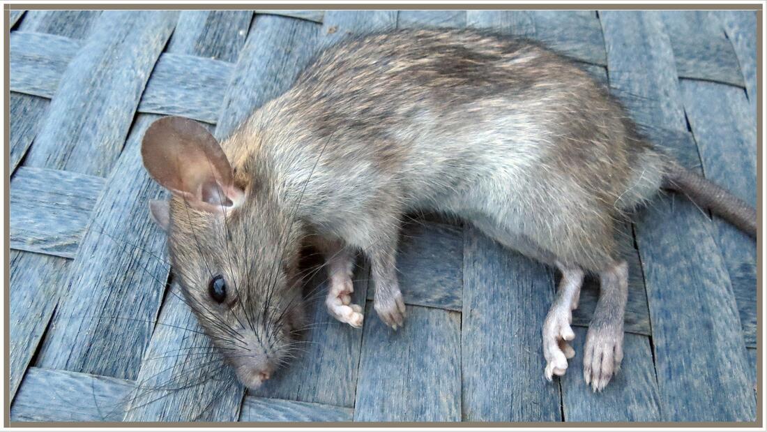 Le rat de Pétale