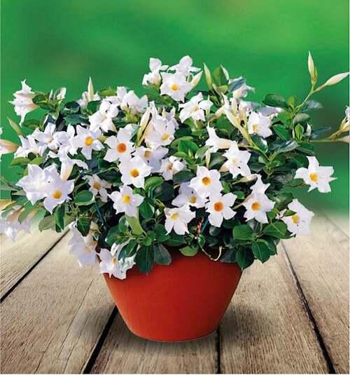 Fleurs cultivées : Dipladenia