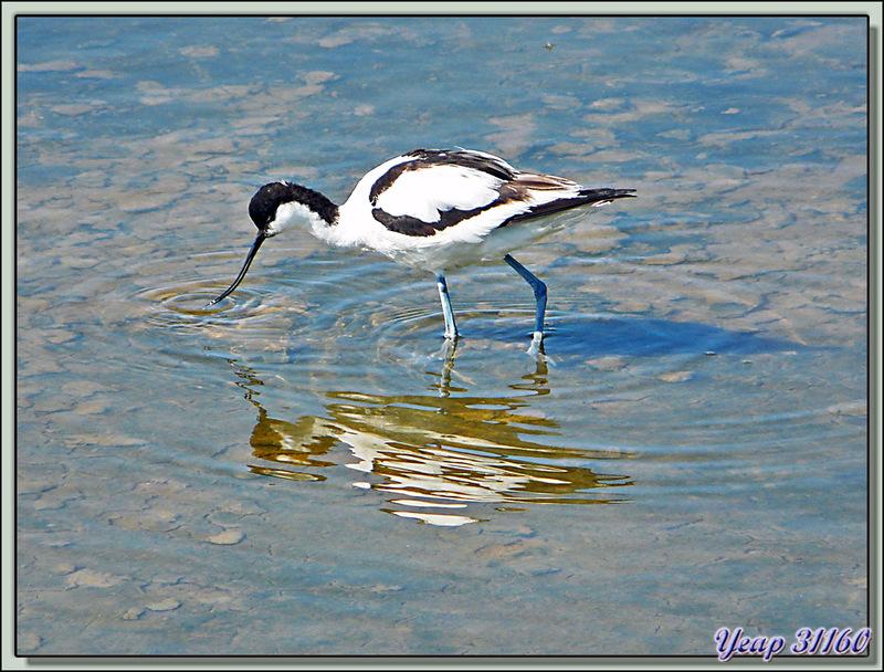 Avocette élégante (Recurvirostra avosetta) - Loix-en-Ré - Ile de Ré - 17