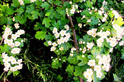L'aubépine est en fleur