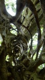 liane ayant tue un arbre