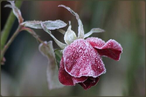 Quand la rosée se transforme en givre