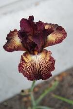 iris Double vision d'Iris en Provence