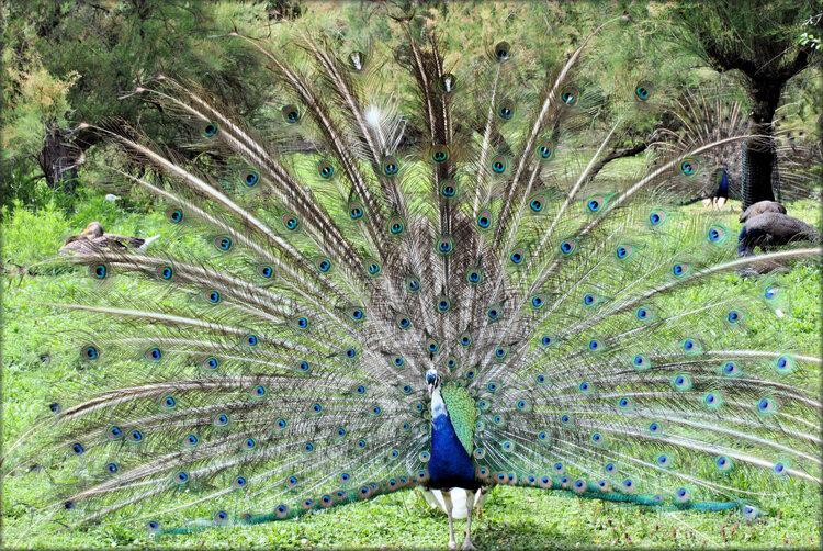 Photo de Paon - Marais aux Oiseaux