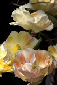 Tulipes Charming Lady7