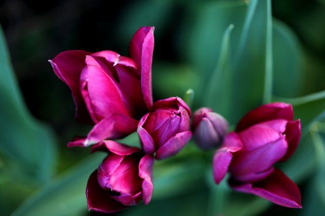 Tulipes 2020 : Night Club