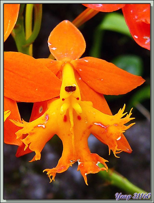 Blog de images-du-pays-des-ours : Images du Pays des Ours (et d'ailleurs ...), Orchidée Epidendrum radicans - Arenal - Costa Rica