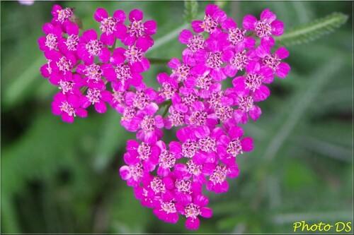 Les photos de fleurs de D.S.....