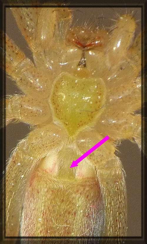 Araignée adolescente