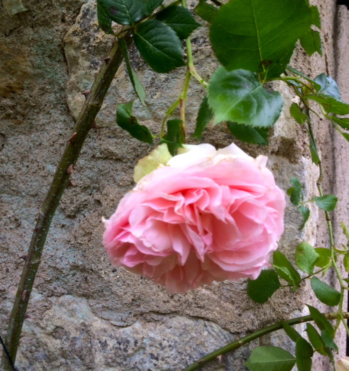 Parfum de roses !
