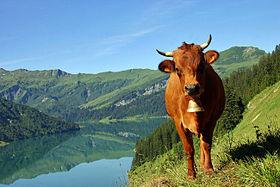 """Résultat de recherche d'images pour """"tarines vaches"""""""
